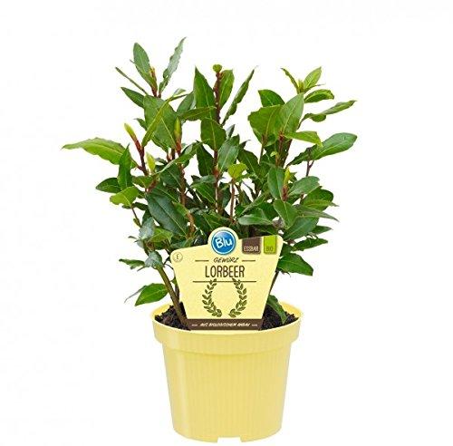 Bio Gewürzlorbeer, (Laurus nobilis), Kräuter Pflanzen aus nachhaltigem Anbau (1 Pflanze, je im 12cm Topf)
